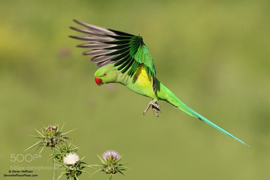 Photograph Rose-ringed Parakeet by Doron Hoffman on 500px