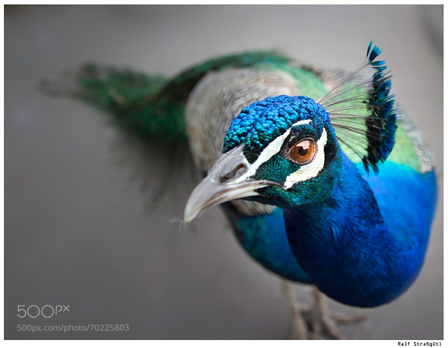 Photograph Peacock by strassguetlralf on 500px