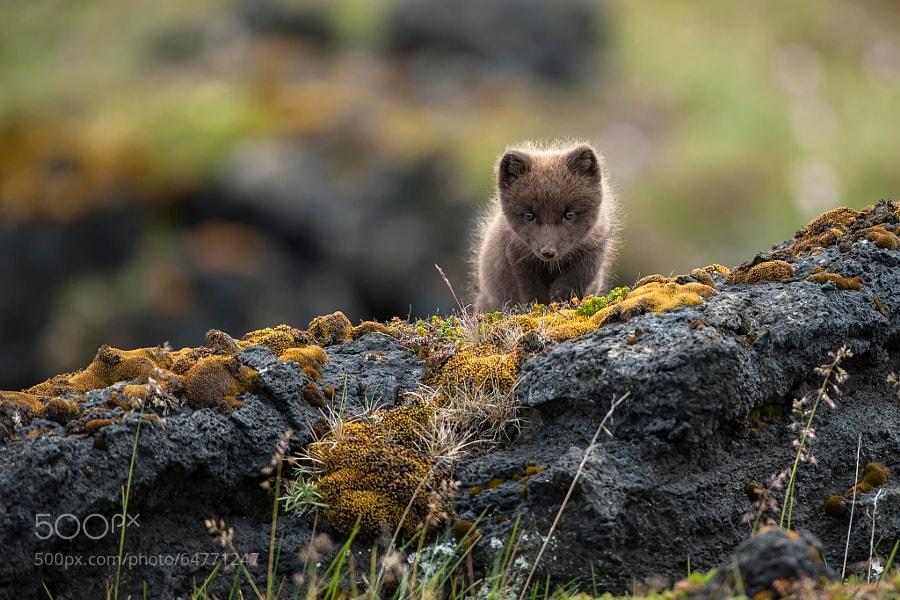 Photograph Arctic Fox (Vulpes lagopus fuliginosus) by Einar Gudmann on 500px