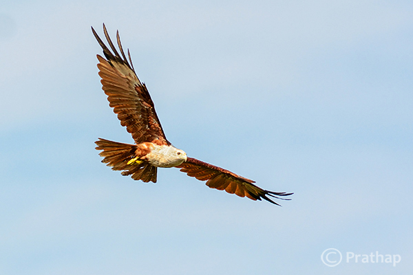 10 Nature Photography Simplified Bird Photography Post Processing Tips Brahminy Kite In Flight