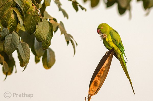 4 Nature Photography Simplified Bird Photography Post Processing Tips Rose Ringed Parakeet Female