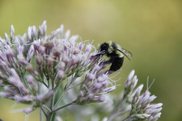 closeup, macro, bee, bumblebee, Tamron18-270mm