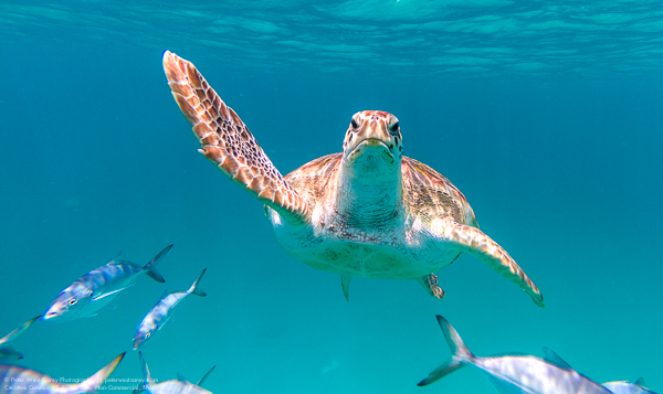 A hawksbill sea turtle (Eretmochelys imbricata) swims directly a