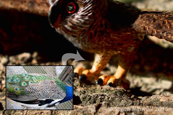 Hibou-paon-texture-enveloppé autour de la jambe