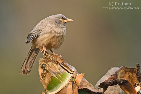 3 Jungle Babbler Shallow Depth of Field Bharatpur Bird Sanctuary Keoladeo National Park Nature Wildlife Bird Photography Prathap