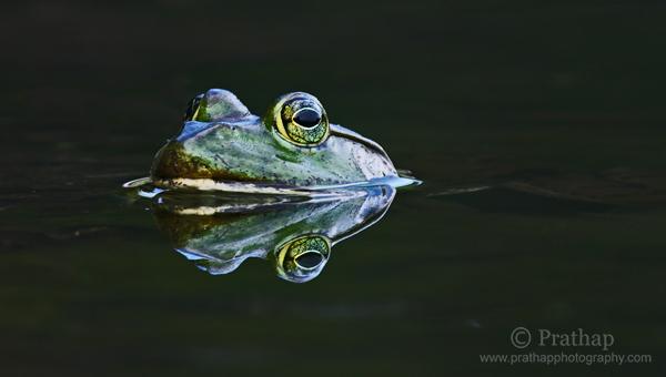 4 Reflejo perfecto de una rana sumergida en una fotografía de aves de la naturaleza y el agua de la naturaleza por Prathap