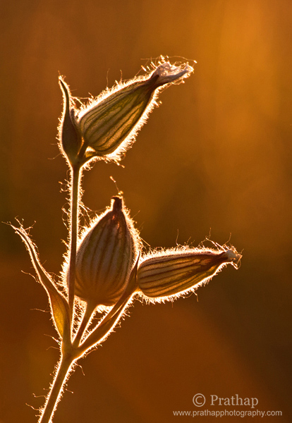 6 Painting with Light Art in Nature Backlit flowers in Golden Hours of Sunset Nature Wildlife Bird Photography by Prathap