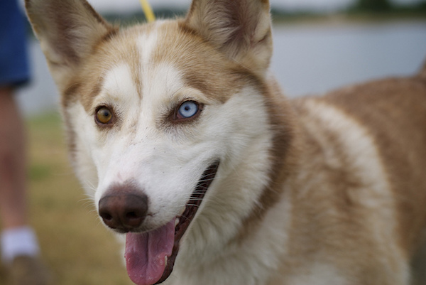 I was able to snap a few photos of this husky by holding my thumb down on the back button to continually adjust the focus, and pressing the shutter to snap photos whenever I wanted.
