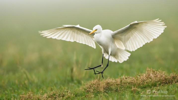 Great White Egret in Flight in Bharatpur Bird Sanctuary or Keoladeo National Park in Bharatpur, Rajastan