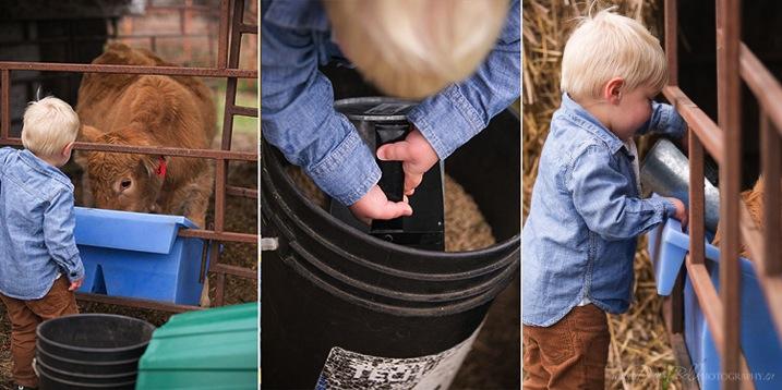 Feeding cows boy