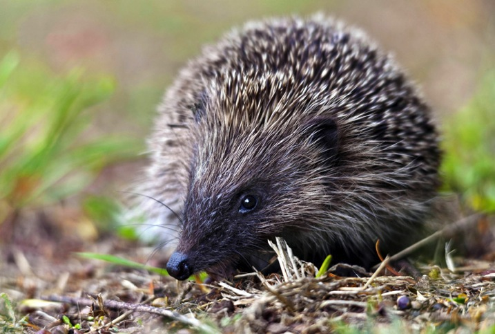 Hedgehog750