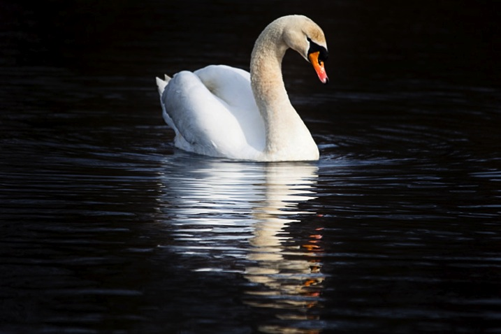 Swanreflection750