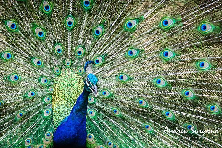 andrewsuryono-peacock