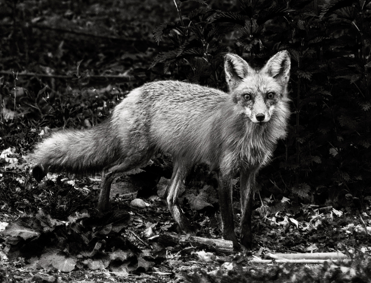black-white-wildlife-photography-fox-final