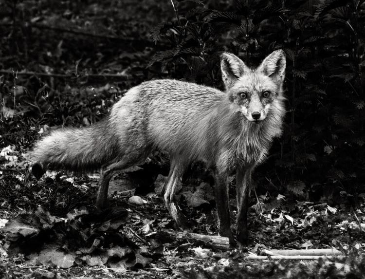 black-white-wildlife-photography-fox-final