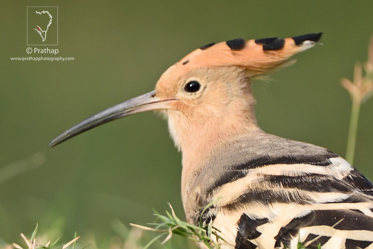 08-The-Most-Useful-Bird-Photography-Tips-for-Beginners-by-Prathap-Nature-Photography-Simplified