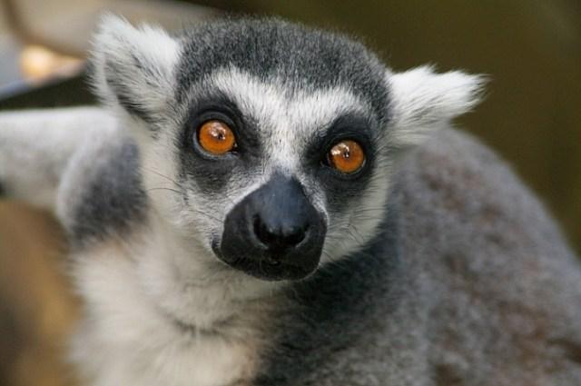 lemur shot with a 28-200 tamron lens