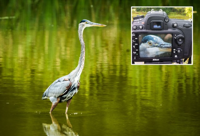 Use live view to focus on the eye to fine-tune the focus in select wildlife images.