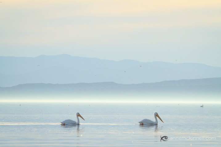 Pelicans at the Salton Sea, California