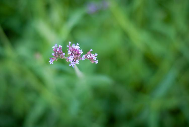 ultra-wide-apertures-purple-flowers