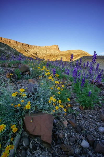 Wildflowers in Big Bend Ranch State Park, Texas by Anne McKinnell