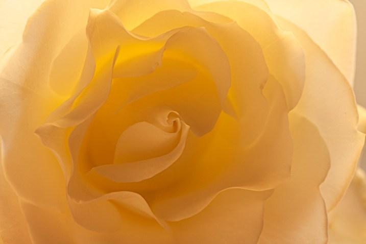 4-Light-painting-flowers-White-Rose-fill