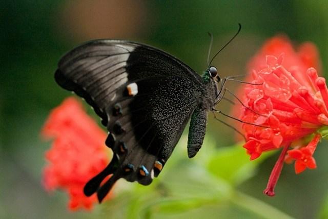 how-to-photograph-butterflies2