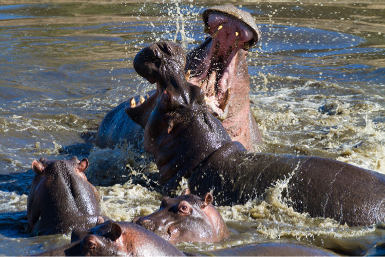 FIghting Hippos, Serengeti National Park, Tanzania