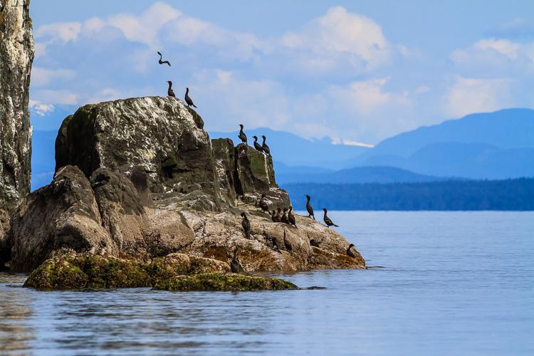Cormorants on Middlenatch Island, British Columbia.