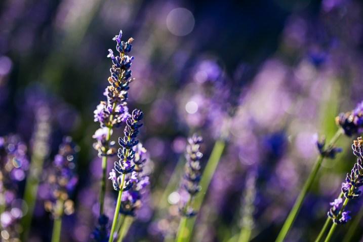 flores de lavanda fotografando a natureza em seu quintal