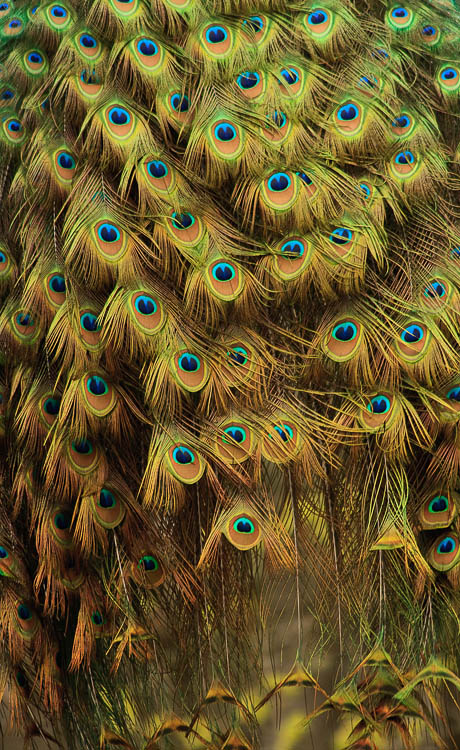 The tail feathers of a peacock by Anne McKinnell