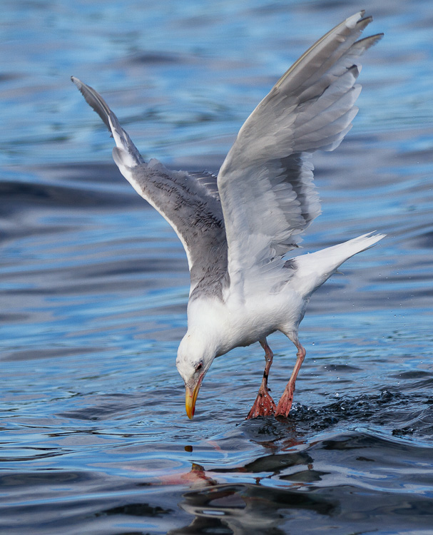 Seagull looking at underwater sockeye salmon by Anne McKinnell