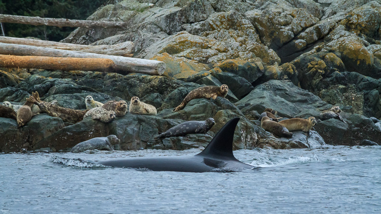 Orca, also known as killer whales, hunting seals by Anne McKinnell