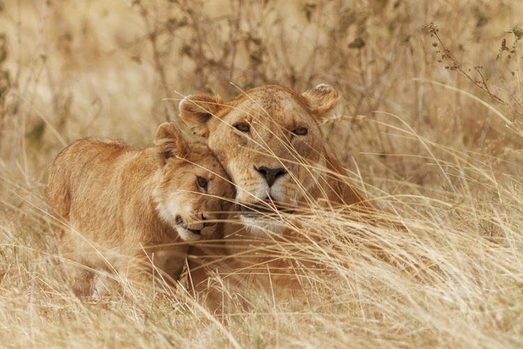 Lion and cub at Ngorongoro Crater, Tanzania by Anne McKinnell