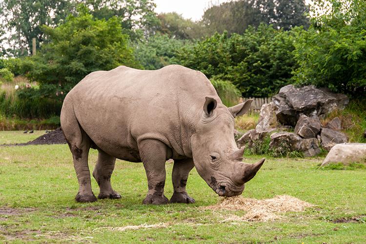 rhino-at-Dublin-Zoo