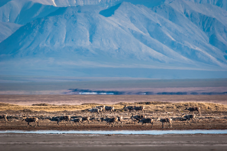 Here a herd of caribou is seen migrating across the coastal plain of the Arctic National Wildlife Refuge in Alaska. This image tells a more important story of movement, landscape, and perspective than a more typical portrait of an animal would.