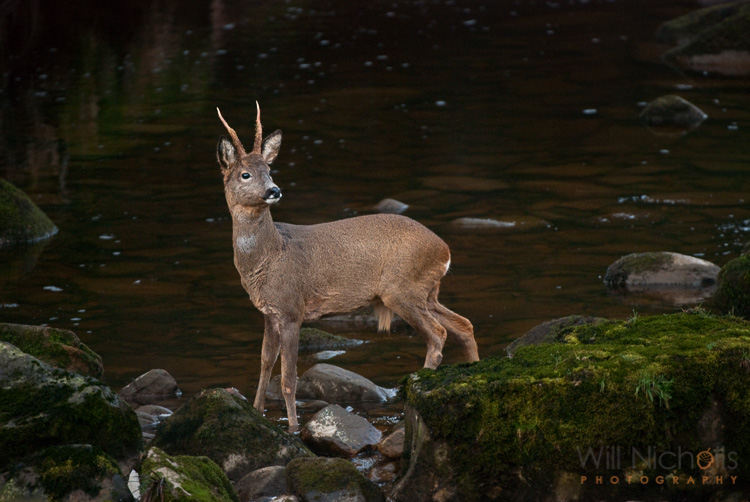 roe deer in low light