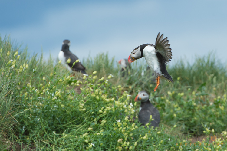 An Atlantic puffin (Fratercula arctica) coming into land at its burrow on the Farne Islands, Northumberland.