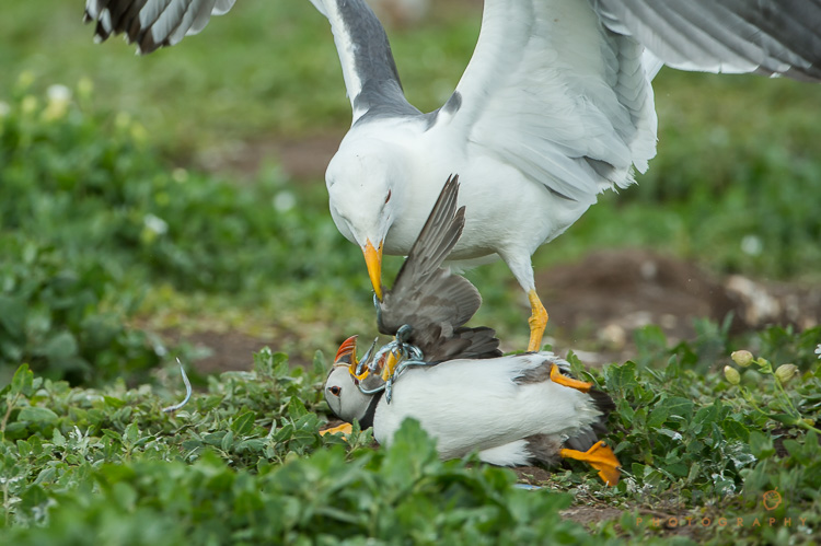 A lesser black-backed gull pins down an Atlantic puffin and steals its catch of sandeels.
