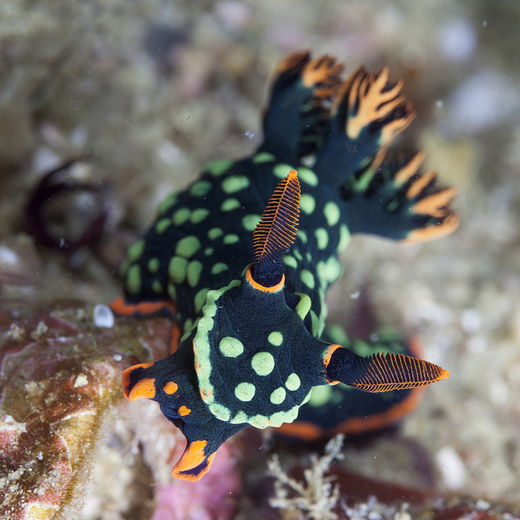 Nudibranch1
