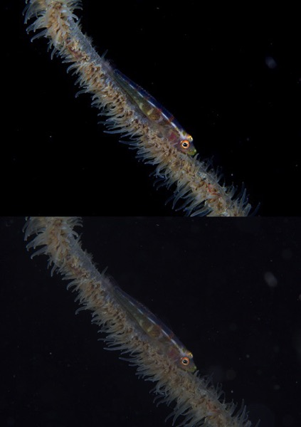 Whipcoralgoby