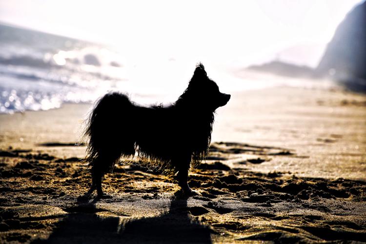 Silhueta de cachorro fotográfico da hora dourada
