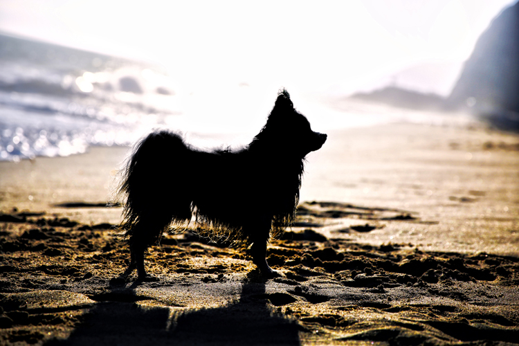 Golden hour photography dog silhouette
