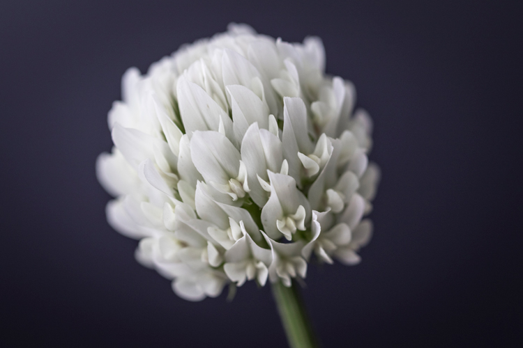 Image: White clover shot with 100mm macro lens.