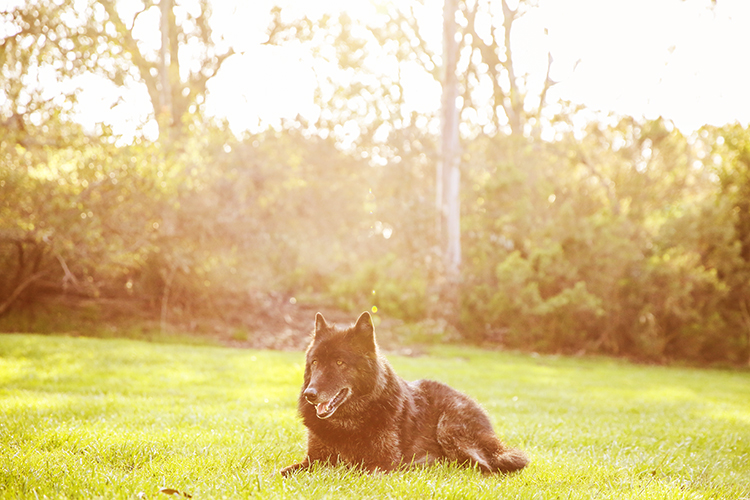 golden hour photography dog in grass