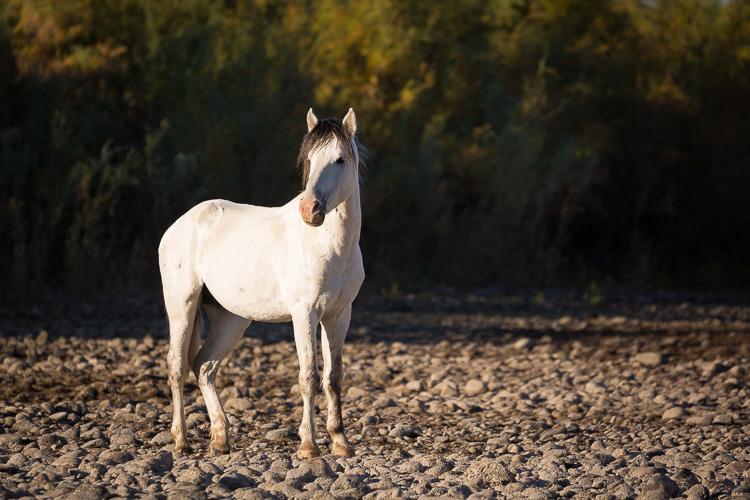 Low Impact Nature Photography - alert wild stallion
