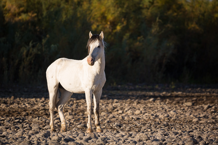 Low Impact Nature Photography - alert wild stallion