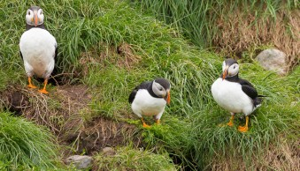 What would you do - puffins