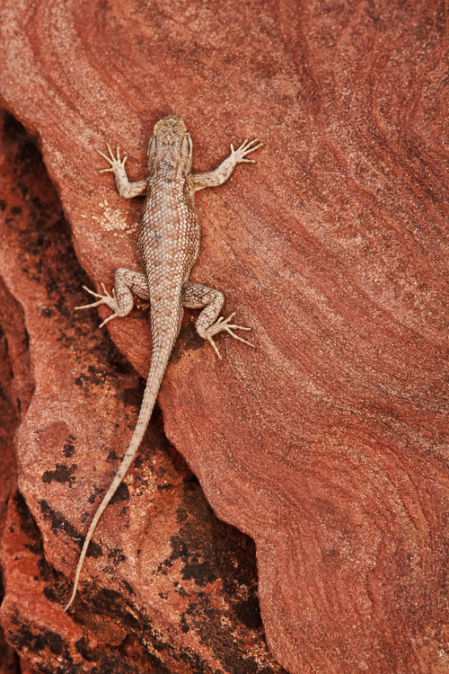 Plateau lizard by Anne McKinnell - 7 Photography Myths Exposed