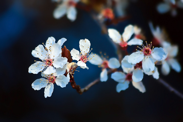 Cherry blossoms - Wide-Angle Versus Telephoto Lenses for Landscape Photography